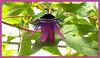 Botanical Center   Des Moines, IA<br /> <br /> Passion Flower