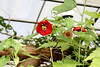 Botanical Center   Des Moines, IA<br /> <br /> Hibiscus
