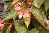 Botanical Center   Des Moines, IA<br /> <br /> Spotted leaf begonia