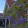 Wysteria at the Holly House B&B