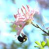 Rhododendron - Azalea