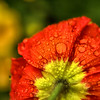 Papaveraceae - Poppy flower