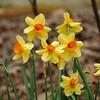 Amaryllidaceae - <br /> Narcissus - Daffodil