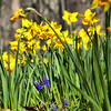 Asparagaceae - <br /> Muscari - Grape Hyacinth<br /> and Daffodils