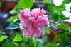 Garden of Eden Botanical Garden: Hibiscus
