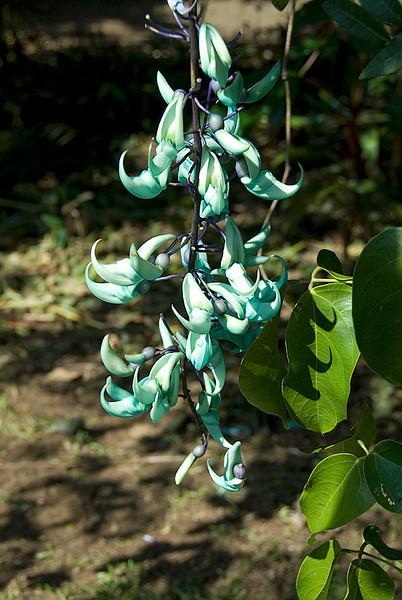Garden of Eden Botanical Garden: Jade Vine