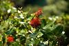 Garden of Eden Botanical Garden: Ohia Lehua