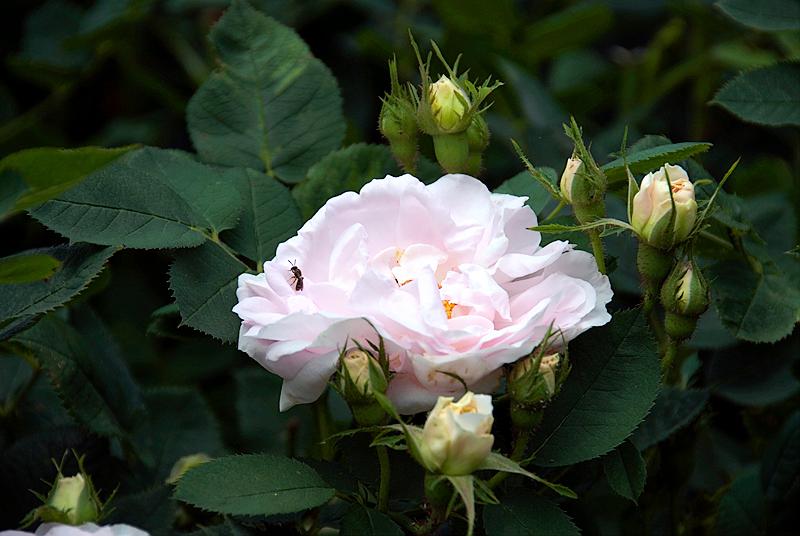 Morris Arboretum: Bee in Rose