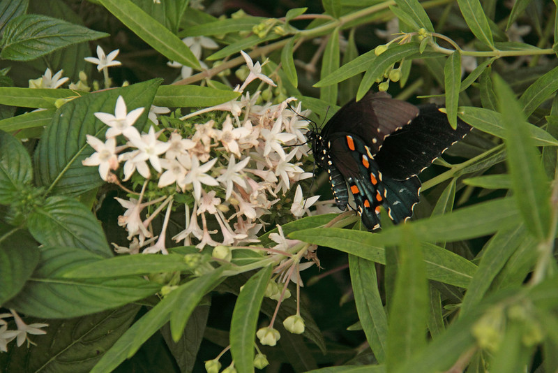 Butterfly Festival   Powell Gardens August,  2014<br /> <br /> Spicebush Swallowtail