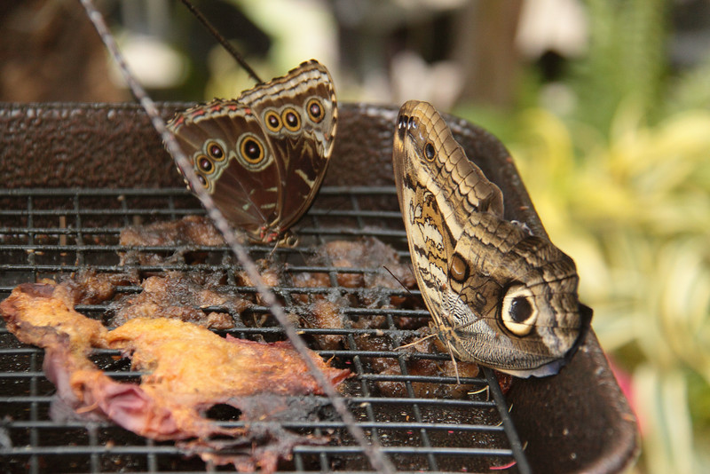Butterfly Festival   Powell Gardens August,  2014<br /> <br /> Blue Morpho, on left, and Forest Giant Owl, right, at rotting fruit feeder.