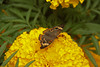 Butterfly Festival   Powell Gardens August,  2014<br /> <br /> Common Buckeye