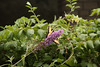 Butterfly Festival   Powell Gardens August,  2014<br /> <br /> I'm hiding, can you see me?