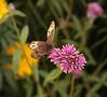 Butterfly Festival   Powell Gardens August,  2014