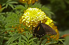 Butterfly Festival   Powell Gardens August,  2014<br /> <br /> Polydama Swallowtail