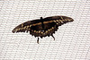 Butterfly Festival   Powell Gardens August,  2014<br /> <br /> Poor ragged Tiger Swallowtail high on the net tent at entry to Visitors Center.