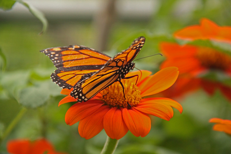 """Butterfly Festival   Powell Gardens August,  2014<br /> <br /> Monarch """"juicing up"""""""