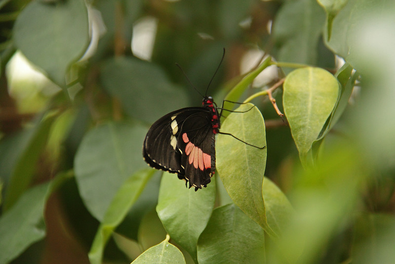 Butterfly Festival   Powell Gardens August,  2014<br /> <br /> Male Cattleheart range is Southern Mexico to Central America.