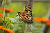 Butterfly Festival   Powell Gardens August,  2014<br /> <br /> Caught in the act.  Monarchs mating.