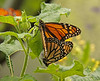 Butterfly Festival   Powell Gardens August,  2014<br /> <br /> Monarchs mating.  I hope this brings more Monarchs to our area.