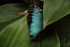 Butterfly Festival   Powell Gardens August,  2014<br /> <br /> Wing of the Blue Morpho