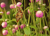 Butterfly Festival   Powell Gardens August,  2014<br /> <br /> Unidentified, as yet, butterfly enjoying Globe Amaranth blooms.