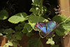 Butterfly Festival   Powell Gardens August,  2014<br /> <br /> Blue Morpho