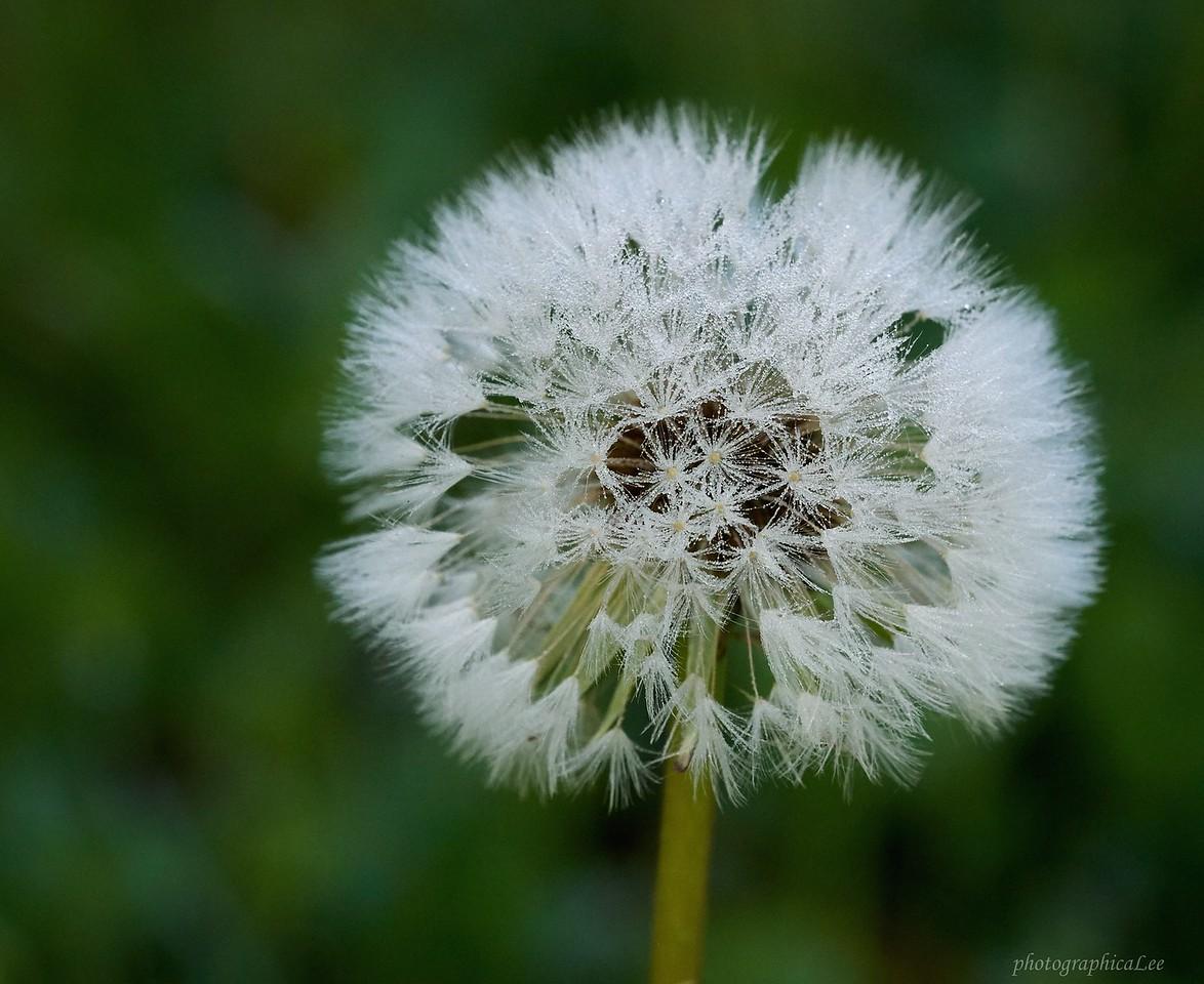 Dewy dandelion