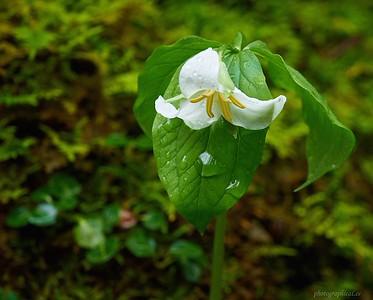Bent Trillium in rain