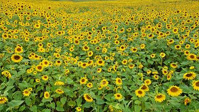 Hardin Valley Sunflowers