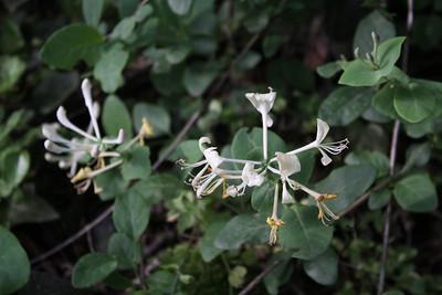 Lonicera caprifolium?