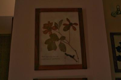 Paeonia lagodechiana in Lagodechi visitor centre