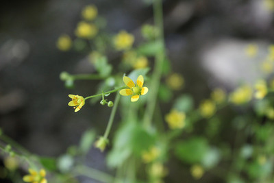 Saxifraga cymbalaria