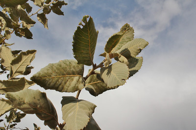 Quercus spec., which one?