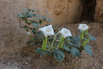 Datura inoxia in Wadi Quelt