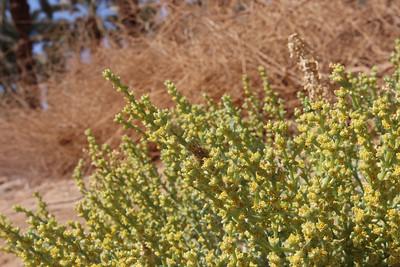 Anabasis setifera