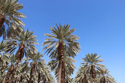 Date plantation, Phoenix dactylifera