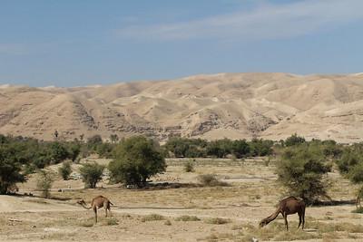 Camelus dromedarius, the Dromedary Camel - domesticated