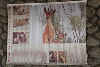 Capra ibex nubiana (The Nubian ibex). Information flag at the entrance of Ein Gedi National Park