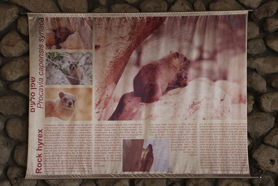 Procavia capensis syriaca, Syrian Hyrax, Information flag at the entrance of Ein Gedi National Park