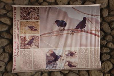 Onychognathus tristramii, Tristram Starling, Information flag at the entrance of Ein Gedi National Park