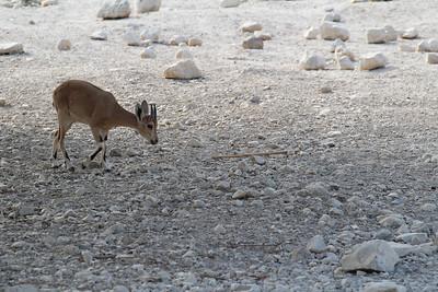 Capra ibex nubiana (The Nubian ibex), a desert-dwelling goat species