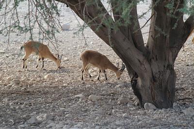 Capra ibex nubiana (The Nubian ibex), a desert-dwelling goat species and Acacia raddiana