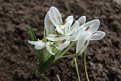 Colchicum robustum, syn. Merendera robusta (in cultivation, photograph by Sjaak de Groot)