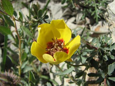 Rosa persica (Aq tappeh, N of Bojnurd, Kopet Dag)