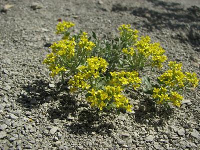Alyssum spec. (Aq tappeh, N of Bojnurd, Kopet Dag)