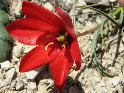 Tulipa montana (Aq tappeh, N of Bojnurd, Kopet Dag)