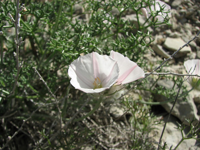Convulvulus cantabrica  (Aq tappeh, N of Bojnurd, Kopet Dag)