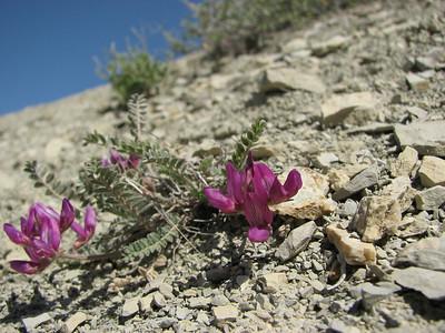 Astragalus spec. (Aq tappeh, N of Bojnurd, Kopet Dag)