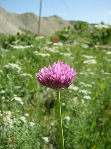 Allium spec. (Aq tappeh, N of Bojnurd, Kopet Dag)
