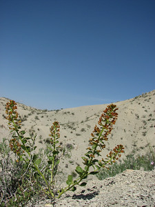 Cleome coluteoides (Aq tappeh, N of Bojnurd, Kopet Dag)